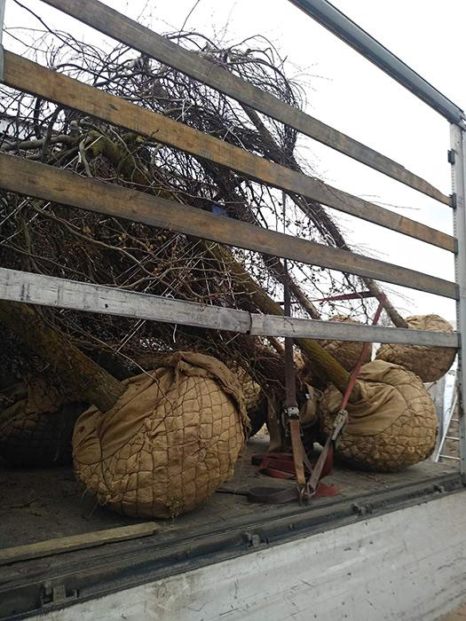 Transportation of trees
